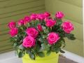 Roses Forever® Roma™