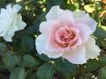 Ingeborg Rose 2