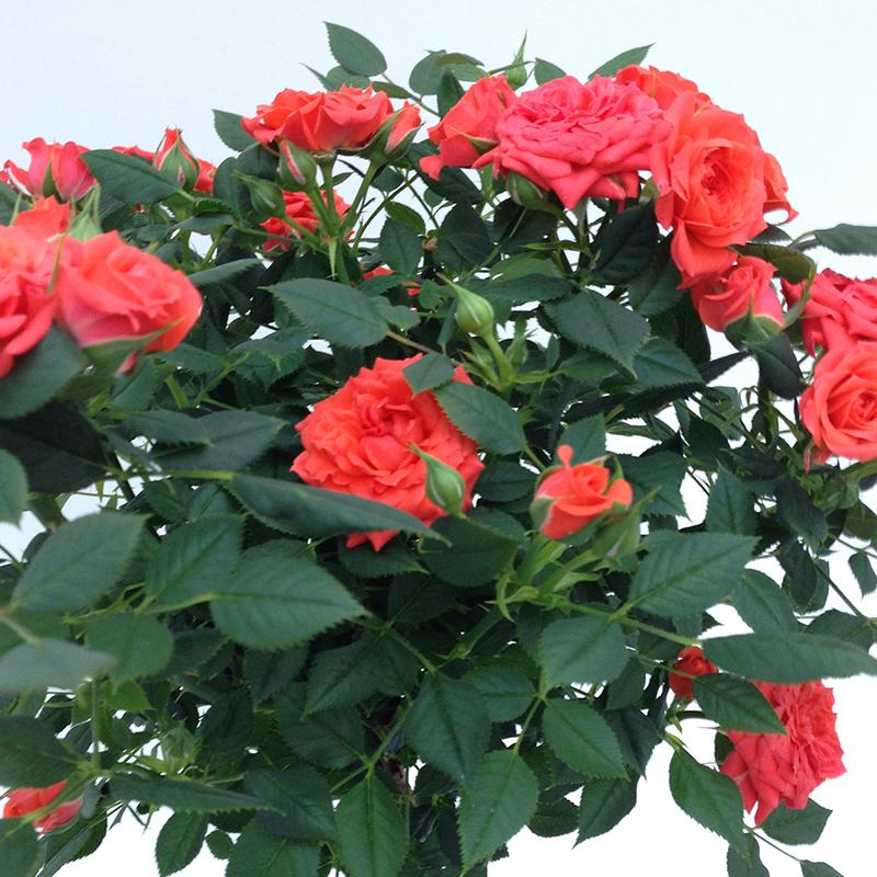 Roses Forever® Cuba™