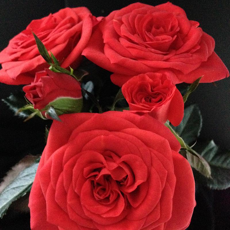 Roses Forever® Maasland™