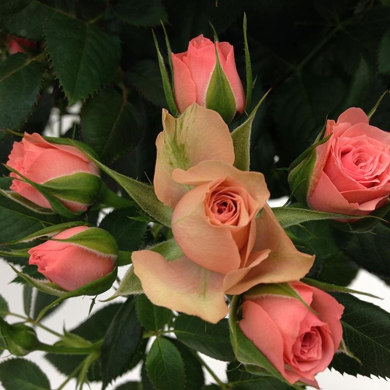 Roses Forever® Oslo™
