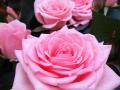 Roses Forever® Como™