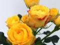Roses Forever® Estoril™