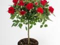 Roses Forever® Love Me Forever™