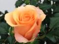 Roses Forever® Rio™