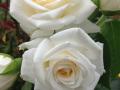 Den hvide skønne rose er remonterende og fyldt med blomster og knopper