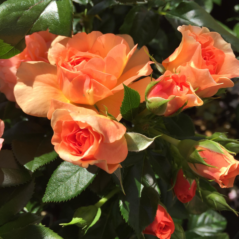 Prins Henrik's Rose 1