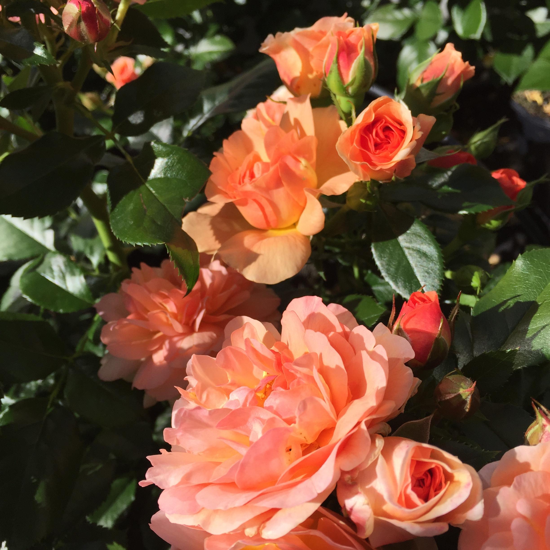 Prins Henrik's Rose 2