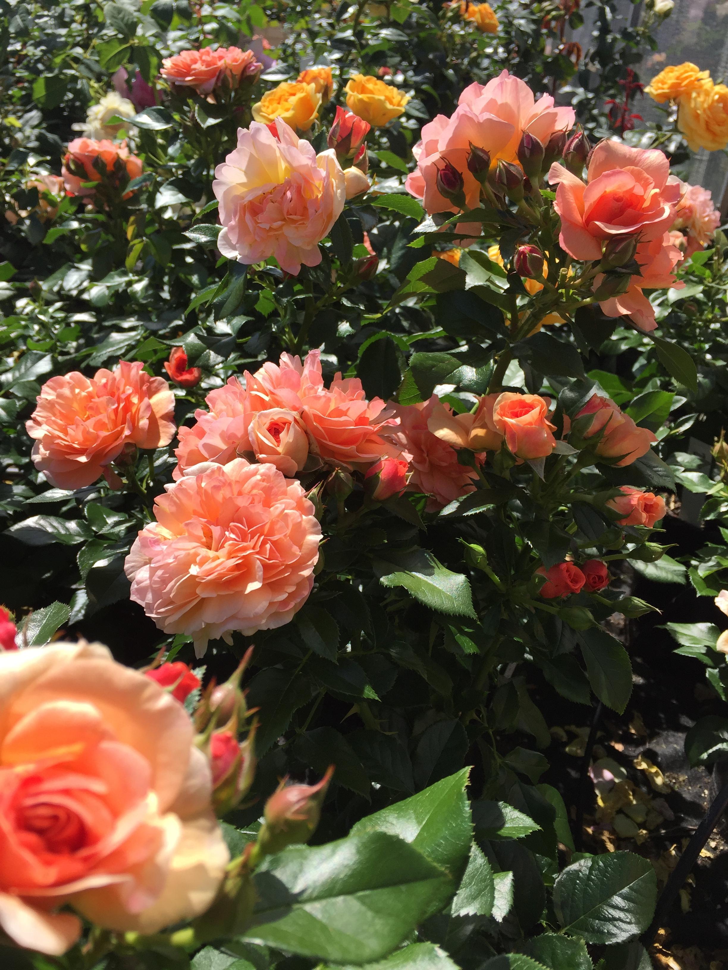 Prins Henrik's Rose 5