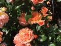 Prins Henrik's Rose 3