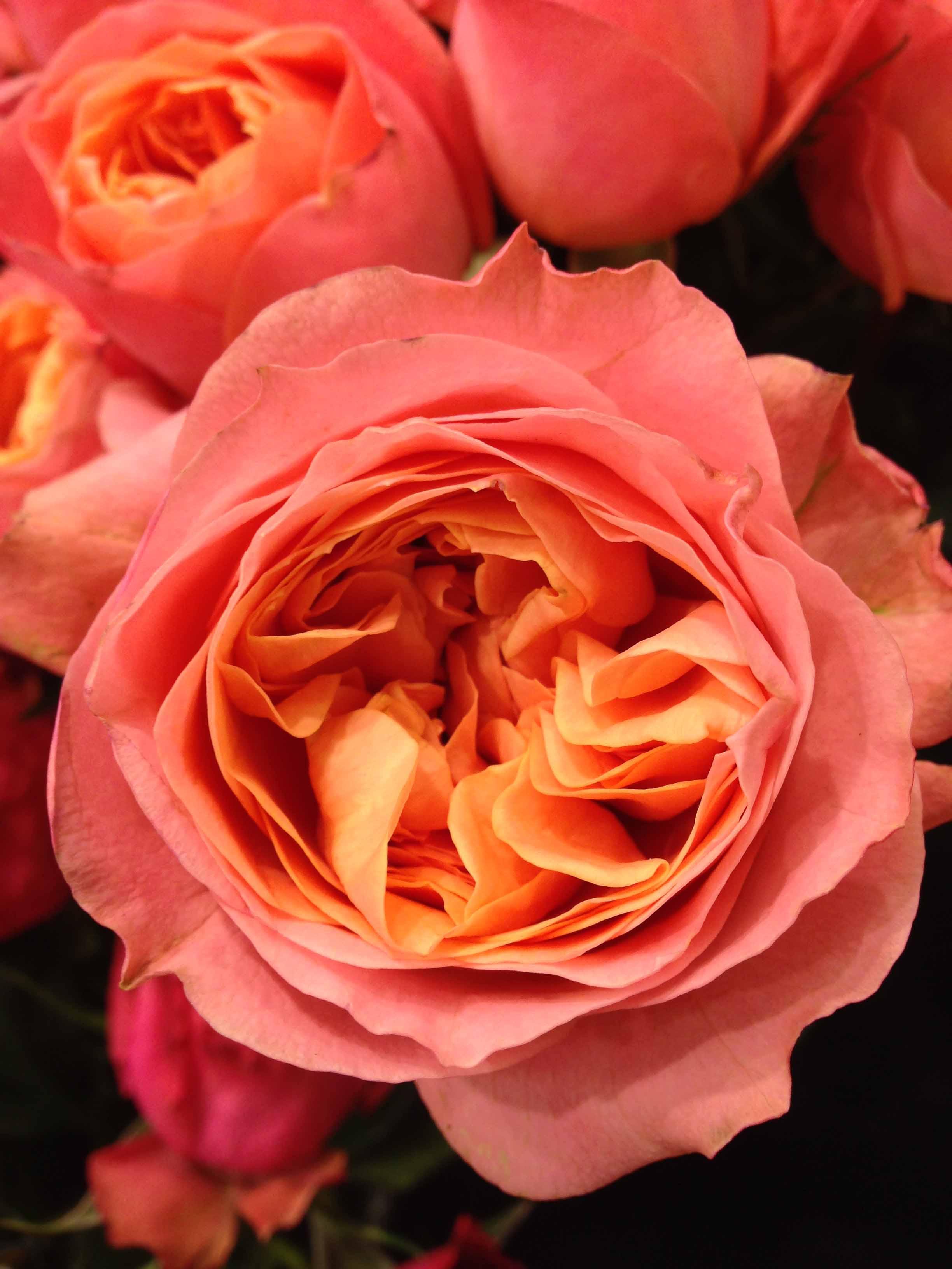 Rosa Loves Me® – Roses forever