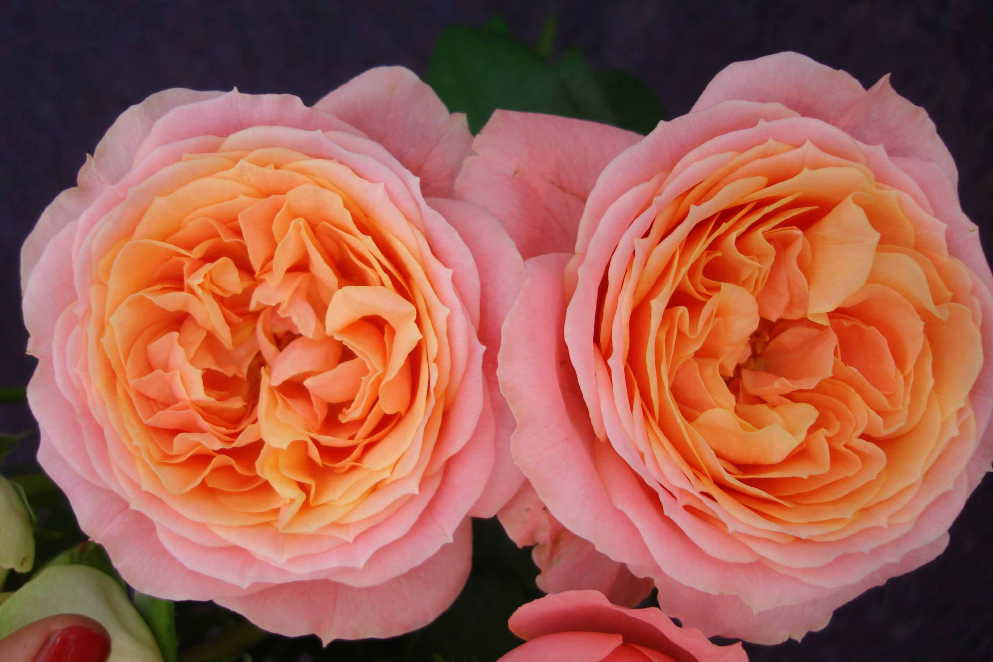 Love Garden Roses: Rosa Loves Me®