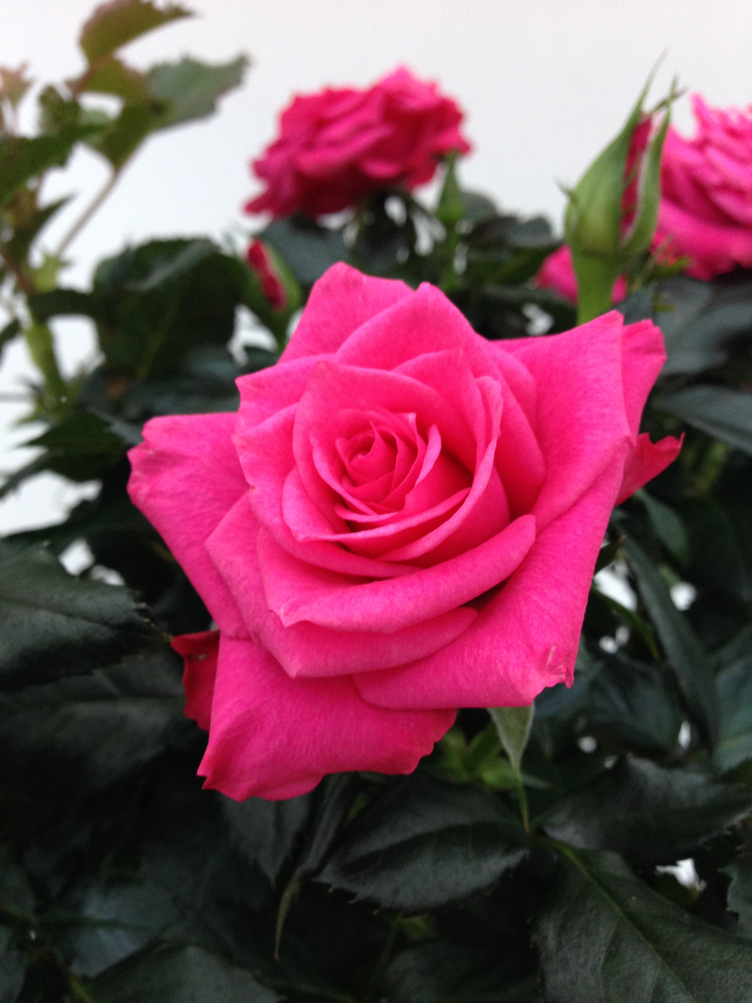Sweet Home Roses Roses Forever