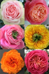 Viking Roses - spectacular flower shapes and colors