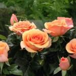Maasland Gold™ Roses Forever® 1