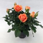 Maasland Gold™ Roses Forever®