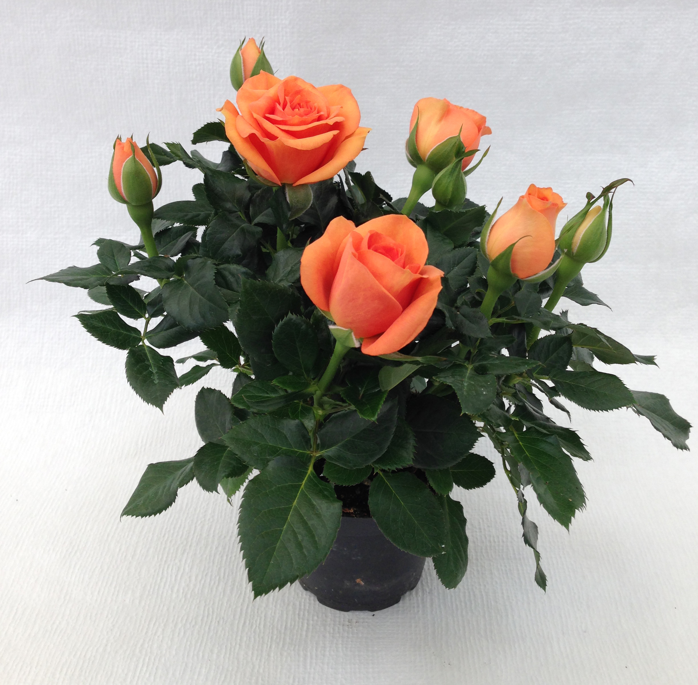 Mini rose in gold is highly wanted roses forever for Roselline in vaso