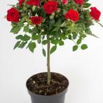 Love Me Roses Forever