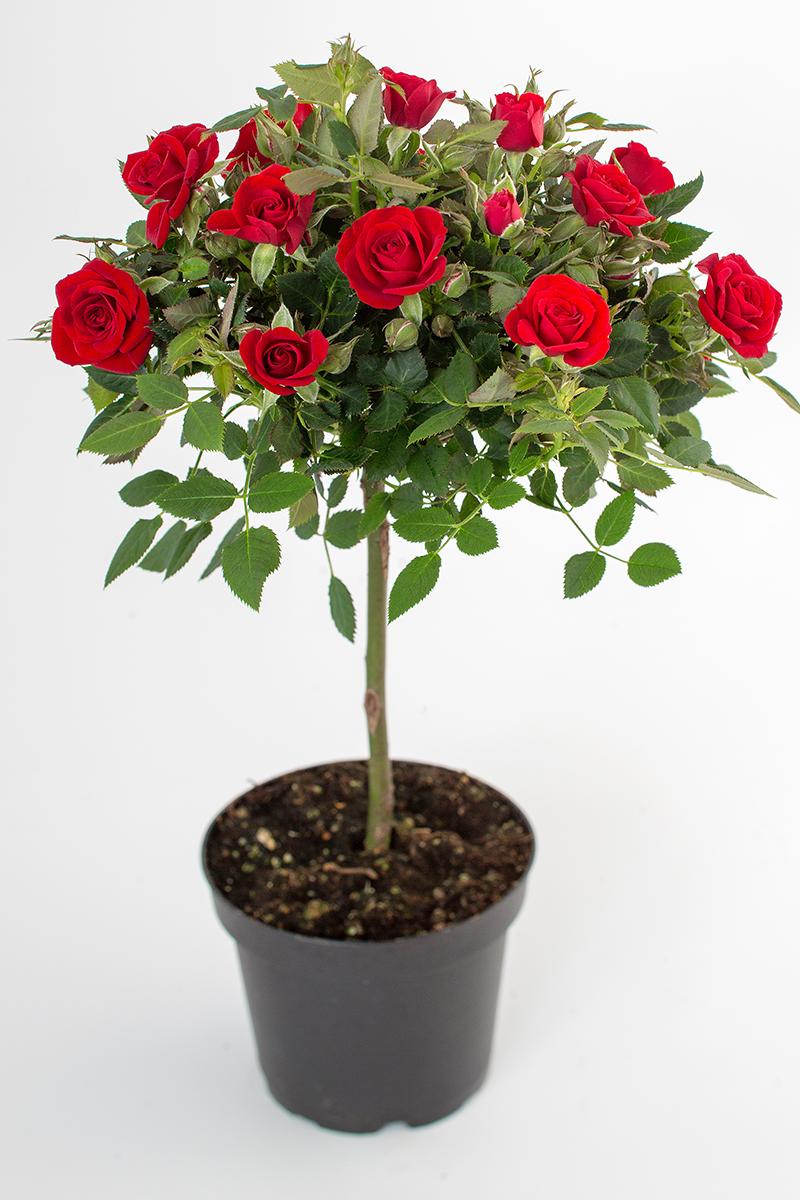 Love Me Mini Roses On Stems Roses Forever