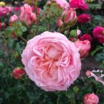 Inner Wheel Rose