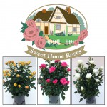 Sweet Home Roses