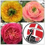 Viking Roses