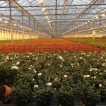 Effective production setup of Roses Forever in China