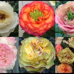 A selection of the new roses - I am different