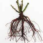 Barerooted Plant'n'cut