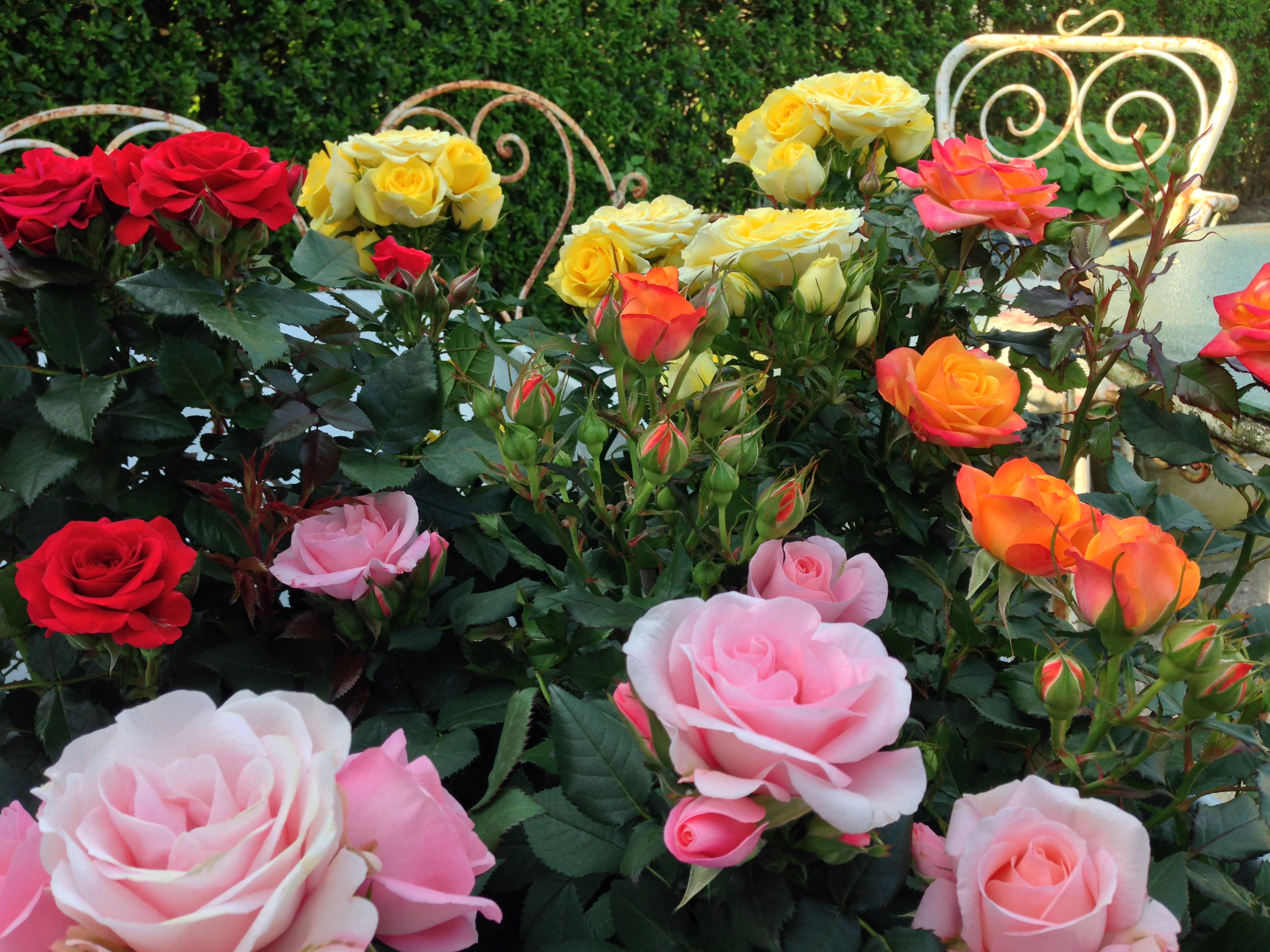 The buzzing sound of summer roses forever beautiful colors lots of flowers and buds on the way creates summer immediately sciox Gallery