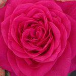 Malaga Roses Forever