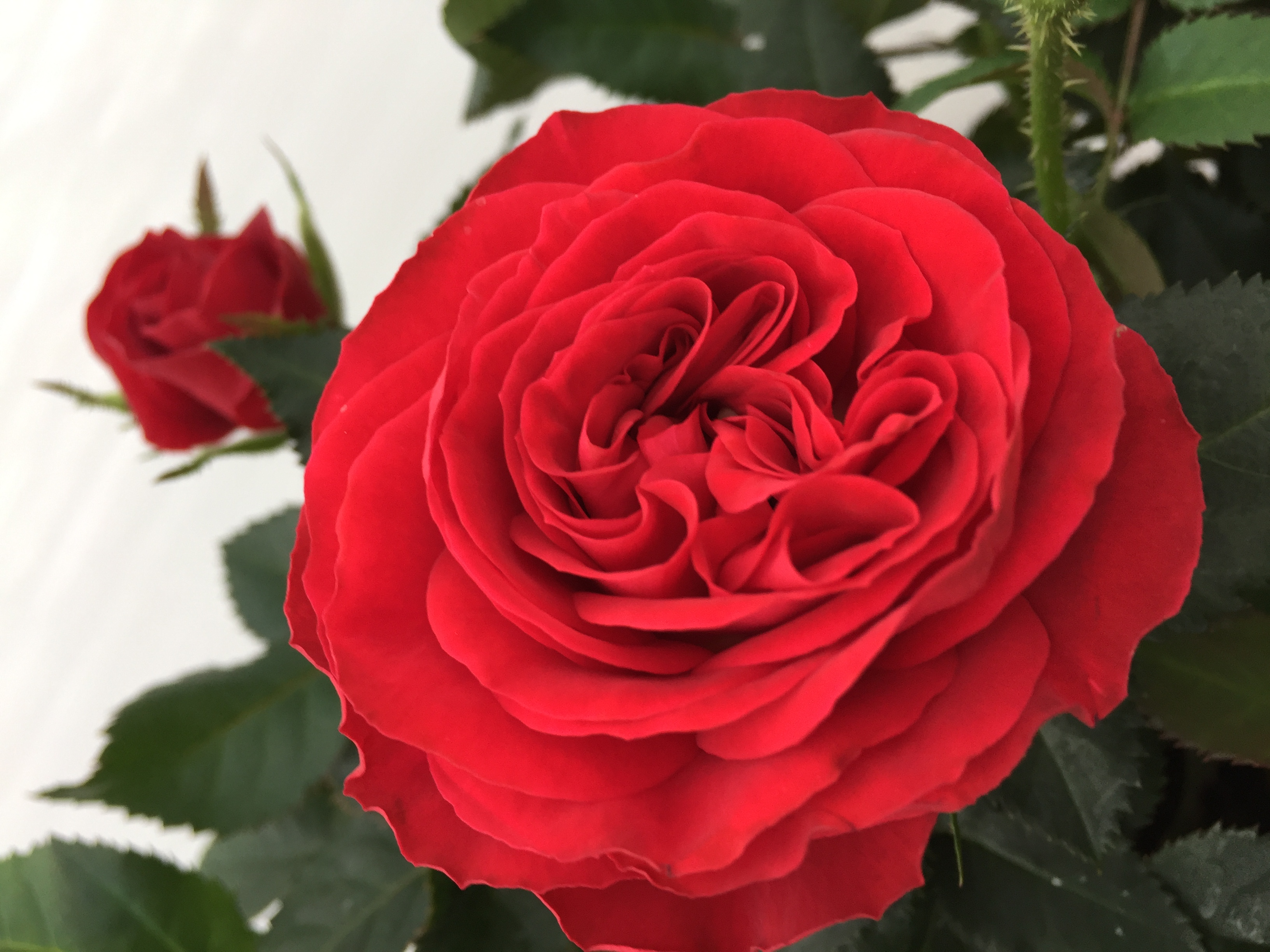 6 Years Ago The Infinity Rose Was Presented For Very First Time It Original White And At This Danish Breeder Rosa