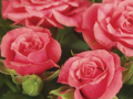 Roses Forever® Pink Bari™