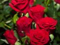 Roses Forever® Verona™