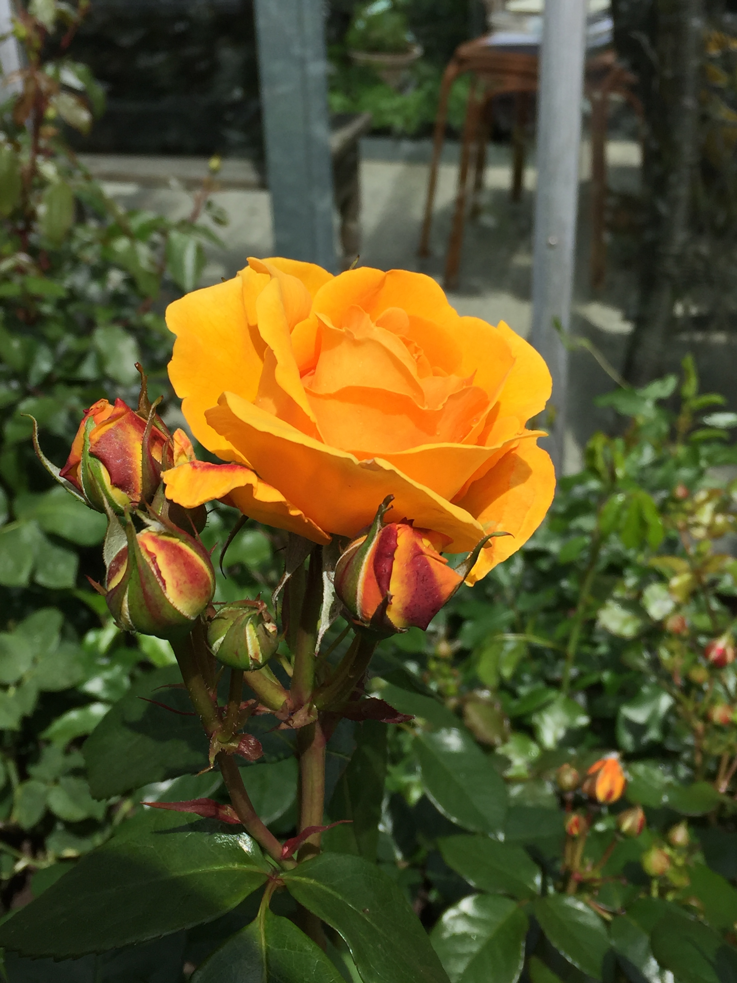 Plant'n'Relax - Roses Forever