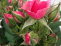 Roses Forever® Korinth™